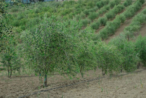 Belle-Farms-Olive-Orchard-1