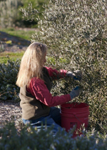 Chris hand pruning olive trees
