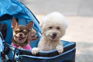 Cute Dog White Toy Poodle with Chihuahua being pushed in a strol