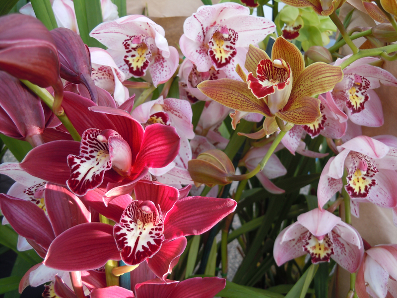 Caring For Cymbidium And Orchid Plants Mbcfm